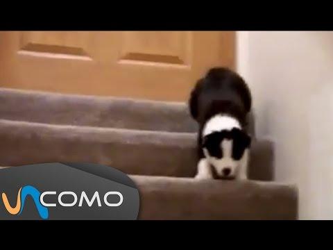 Cachorros bajando escaleras - Funny puppies vs chairs