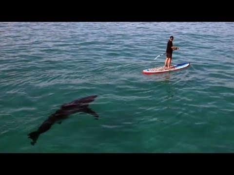 Great White Invasion Paddling With a Shark