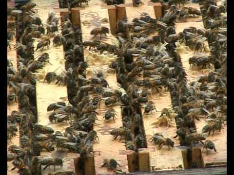 Honey Bee Documentary