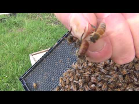 Beekeeping: Saving A Bee From A Flower