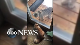 Housecat Guards Colorado Home From Bobcat - ABCNEWS
