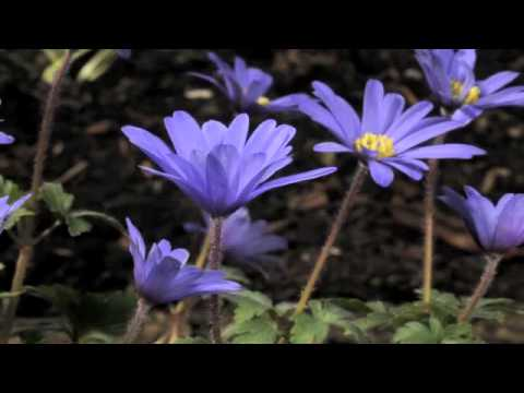 Anemone blanda 'Atrocaerulea' flower time lapse