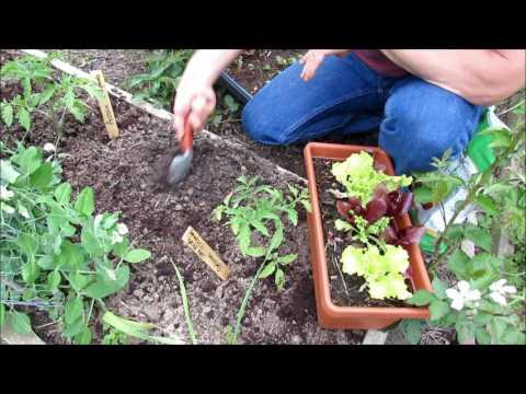 Gardening Coast2Coast (2): Lettuce - Seed Starting & Planting  to Harvesting, Bolting & Heat Tips