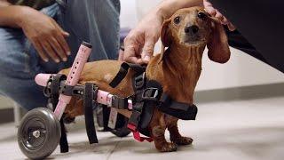A Paralyzed Dachshund Gets a Pair of Wheels - ANIMALPLANETTV