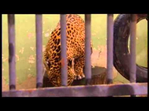 El Jaguar del Amazonas Reino de Felinos