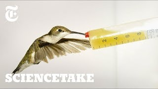 How Hummingbirds Cheat Death | ScienceTake - THENEWYORKTIMES