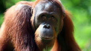 In Captivity, Orangutans Unlock Curiosity | ScienceTake - THENEWYORKTIMES
