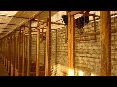 Criadero de Gallos de Pelea, Galpon Stefano (2010-2011) 2ª parte