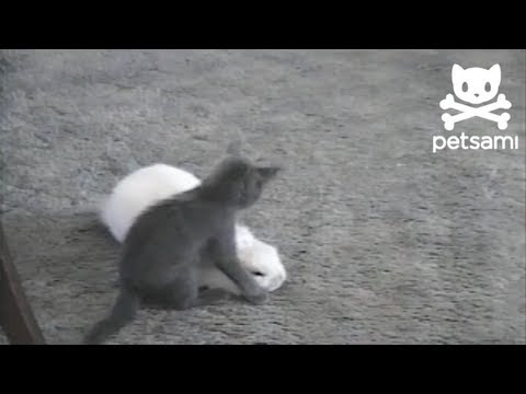 Easter Bunny and Kitten Have Wreslting Match
