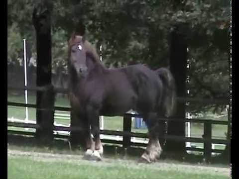 Cavalo Bretão - 1 tonelada de pura leveza... Garanhão MAX DU CHAPEL - Haras Nationaux - França