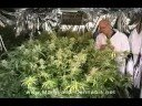 Grow Medical Marijuana Cannabis (Legal)