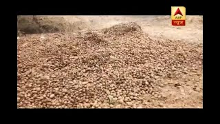 Bareilly: Farmers throw away quintals of potatoes on roads because of no storage facility - ABPNEWSTV