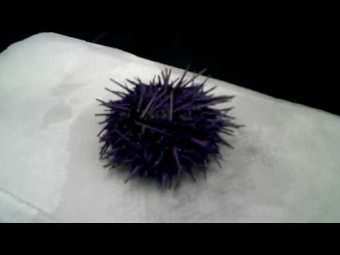 Sea Urchin Egg Extraction