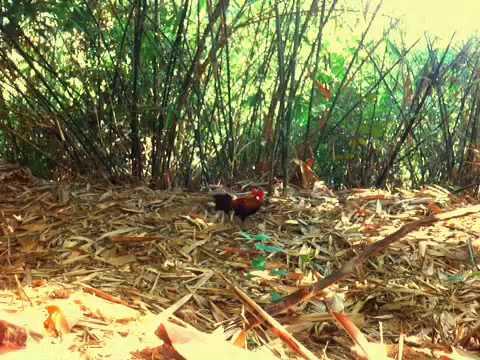 pikat ayam hutan RB25