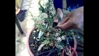 wiring ngawati bonsai boxus pertama eps 1 youtube rh youtube com Bonsai Silhouette Bonsai Wiring Tips
