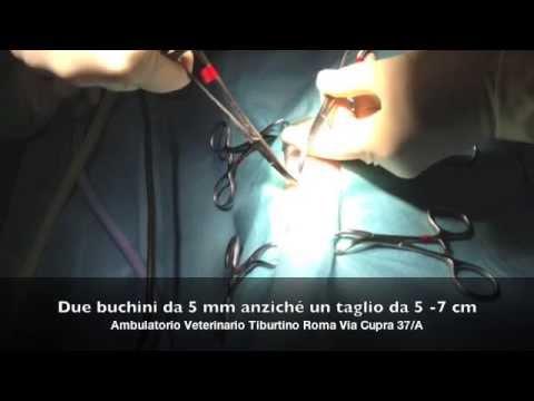 laparoscopia veterinaria , sterilizzazione gatta in laparoscopia a roma