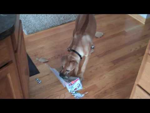 Rhodesian Ridgeback Puppy Making A Mess