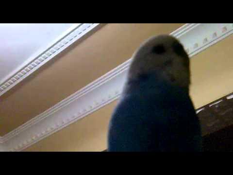 konuşan muhabbet kuşu fıstık (off off kömür gibi yanıyorum)