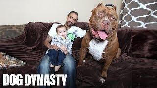 تعرّف على «هالك».. أضخم كلب «بيتبول» في العالم