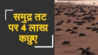 WATCH: 4 lakh Olive Ridley turtle spotted in Odisha | समुद्र तट पर नजर आए 4 लाख ओलिव रिडले कछुए - ZEENEWS