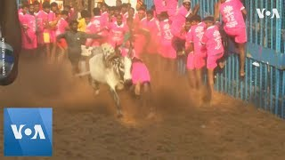 Hindus Tame Bulls for Harvest Festival in Southern India - VOAVIDEO