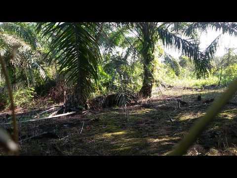 Ayam hutan BP