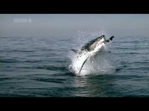 Прыжок из воды гигантской акулы (Super Slow HD)