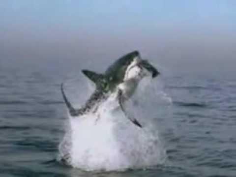 tubarão branco caçando