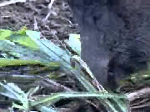 Ibama autoriza caça controlada do javali- uma espécie exótica invadora que ataca plantaçõe