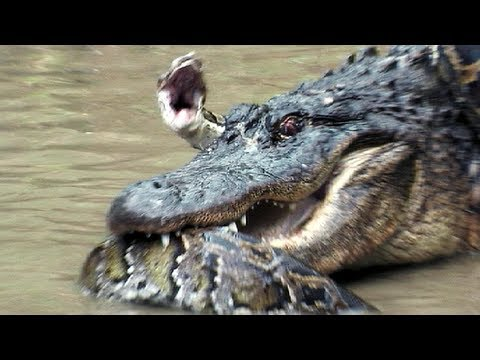 Python vs Alligator 13 -- Real Fight -- Python attacks Alligator