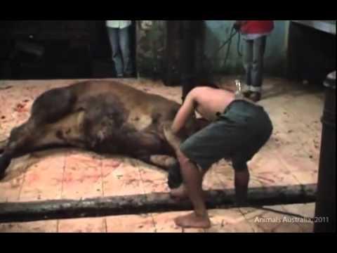 Video Penyiksaan Sadis Sapi Australia di Indonesia Sebelum Dipotong - VIVAforum.flv
