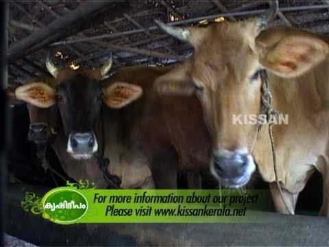 Success story of a dairy farmer Thomson Dairy Thrissur