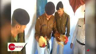 MP: 2 roosters arrested over cock-fight, kept in Athner police station - ZEENEWS
