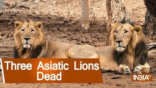 Three Asiatic Lions Dead After Being Run Over By Goods Train In Gir; Forest Dept Orders Inquiry - INDIATV
