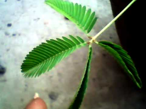 Mimosa pudica a magic plant . touch effect  .
