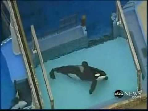 Killer Whale Kills Trainer Footage Disturbing Scenes