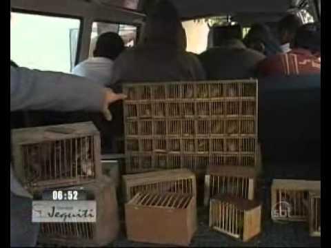 RJ: 17 presos na maior apreensão de pássaros silvestres do ano