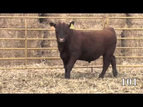 Beckton Red Angus 2014 Sale Lot 101
