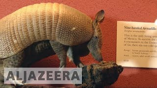 Armadillos' migration to northern US thought to be sign of climate change - ALJAZEERAENGLISH