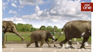 Attenborough explores the zoo elephants - Attenborough and the Giant Elephant  - BBC - BBC
