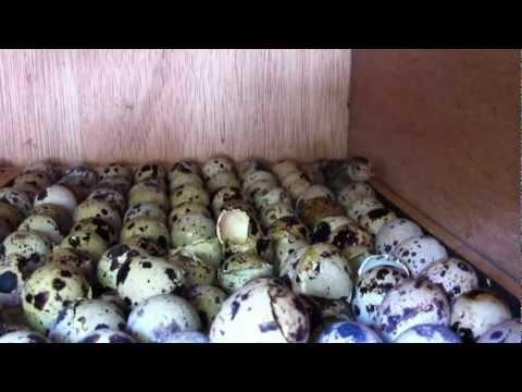 nascimento de codornas chocadeira 001 ( video Fernandinho da Digital ) criador
