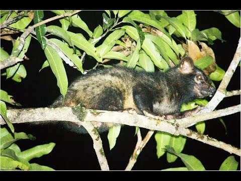 Common palm civet - Toddy cat - മരപട്ടി from Perumbavoor