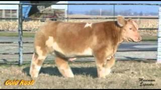 فيديو وصور ظاهرة غريبة من البقر المعروفة باسم البقر المنفوش fluffy cows