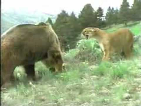 Mother Cougar protecting cubs against a Grizzly Bear