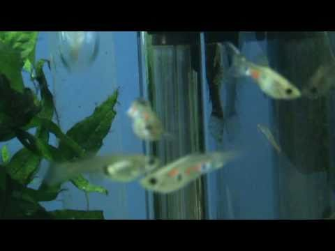 New stock of Wild Guppy for sale at Tyne Valley Aquatics