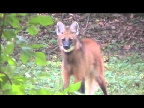 The seldom heard roar-bark of the Maned Wolf