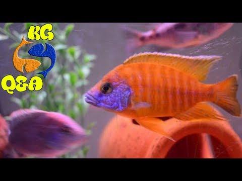 Sexing Cichlids? Cichlids wont grow? Yellow water? KGQandA Episode 6