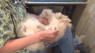 Grooming english angora rabbits for show and fiber - Tuinman fiber ...