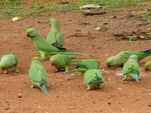 Indian Ringneck Parakeet flock eating bread at Indira Park - Hyderabad
