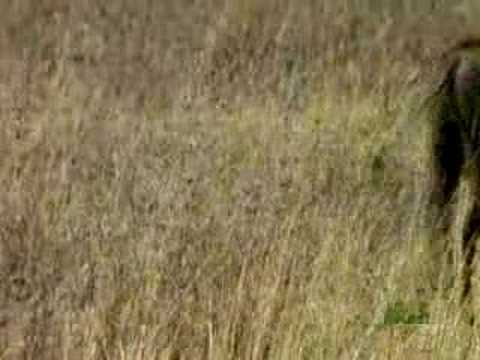 Killer Clips - Lion vs. Boar